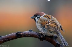 東京は雨になりました…。山間部は雪なのかなぁ。 . (スズメちゃんとの #妄想日常会話) . . スズメが主役の物語『あした、どこかで。』. シリーズ1 amazon.co.jp/dp/490841100X . シリーズ2 amazon.co.jp/dp/4908411018 . 詳しくは http://alive-cr.com  . . #スズメ #雀 #sparrow #小鳥 #鳥 #bird #動物 #animal #癒し #本 #スズメ写真集 #自然 #足もとの自然 #身近な自然 #nature #写真 #写真撮ってる人と繋がりたい #photo #photography #ちゅん活 #三連休 #お話 #雨 #雪 #寒い