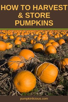 Are you new to growing pumpkins? If so, you'll want to learn how to harvest pumpkins and how to store them properly. Here's a quick guide to harvesting and storing pumpkins from your garden. Pumpkin Garden, Pumpkin Planter, Harvest Garden, When To Harvest Pumpkins, Organic Gardening, Gardening Tips, Vegetable Gardening, Pumpkin Squash, Pumpkin Soup