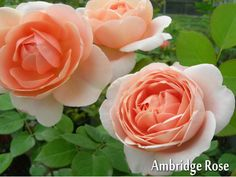 アンブリッジ ローズ:バラの家>ロゼット 中大輪・強香 イングリッシュローズ特有とも言える強いミルラ香・完全四季咲き・樹高1.2m。樹形は非常にコンパクトで、横張りしない直立型。初心者向け。強い樹勢で、多少元気がなくなっても、すぐに芽をもりもり出し、気がつくと優雅な花を、たっぷりと楽しませてくれます。背丈は低めでよく茂るので、バラの花だんやボーダーの手前の方か鉢植え向き。病害虫への耐性が強く丈夫な品種。
