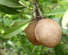 Growing Sapodilla tree in a container, How to grow Sapodilla tree, Planting sapodilla, Others name of Sapote (Chikoo), Harvesting Sapote. Cactus Seeds, Fruit Seeds, Tree Seeds, Growing Spring Onions, Ginger Rhizome, Hummingbird Plants, Tree Pruning, Soil Improvement, Small Leaf