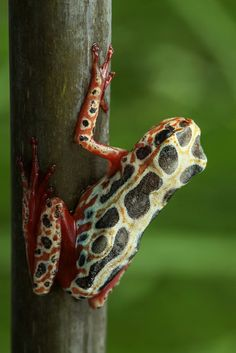 Reed frog by andre de kesel on Flickr.