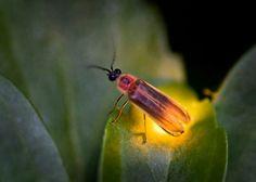 Lightening bug