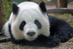 Lun Lun at Zoo Atlanta in Georgia, US, on February 2, 2014. © SmileyBears.