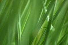 Citronella Plant Care Citronella grass (Cymbopogon nardus) is a tall grass that originated in Southe Cat Repellant Outdoor, Natural Mosquito Repellant, Petunia Care, Petunia Flower, Citronella Plant Care, Plants That Repel Bugs, Catnip Plant, Snake Plant Care, Fly Repellant