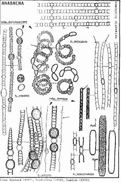Image result for labelled diagram of a spirogyra cell