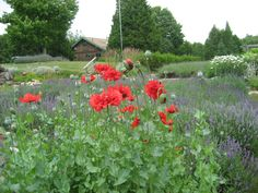 Poppies growing at random at Stoney Hollow's lavender gardens.