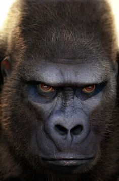 They don't call me scar face for nothin'! Primates, Mammals, Angry Animals, Animals And Pets, Funny Animals, Cute Animals, Strange Animals, Photo Ours, Photo Animaliere