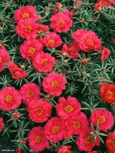 Moss Rose (Portulaca grandiflora 'Sundial Fuchsia')