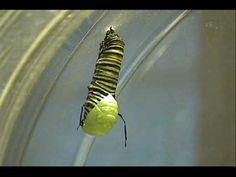 Monarch Butterfly Metamorphosis - caterpillar to chrysalis