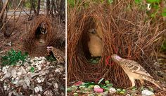 """""""Hello pretty lady, welcome to my nest of love.""""  Bower birds be crazy."""