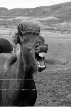 An Icelandic horse has a chuckle, somewhere along the road in the middle of Iceland