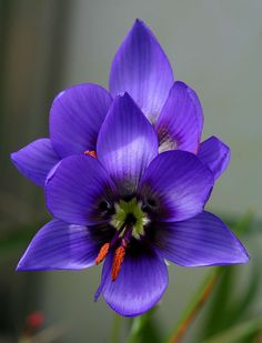 Indigenous South African wildflower endangered in th. Indigene südafrikanische Wildblume in Unusual Flowers, Amazing Flowers, Colorful Flowers, Purple Flowers, Wild Flowers, Beautiful Flowers, Yellow Roses, Photos Of Flowers, Pink Roses