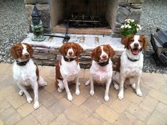 My Brittany Family that own my heart.