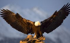 cool eagle spreading its wings wallpaper Check more at…