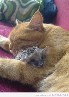 Cat snuggling a baby Hedgehog