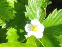 Strawberry Plant Propagation how to by either division, seeds or runners.