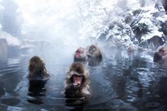Photograph Yudanaka Snow Monkies by Ilia Kotchenkov on 500px