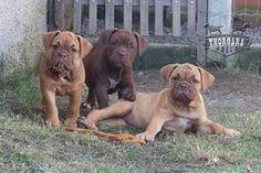 Xaxado, Corisco e Dadá  Canil Thorgara Bull's Especializado em Buldogue Campeiro e Bull Terrier Itaipuaçu - RJ - Brasil