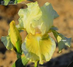 IB Iris germanica 'Daddy Cool' (Blyth, 2002)
