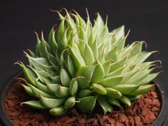 Graptoveria 'Silver Star' is a hybrid between Graptopetalum filiferum and Echeveria agavoides var. multifida. It is a beautiful succulent plant, up to...
