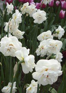 Narcissus 'Acropolis' - Gefüllte Narzisse