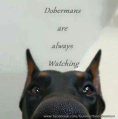 #Doberman