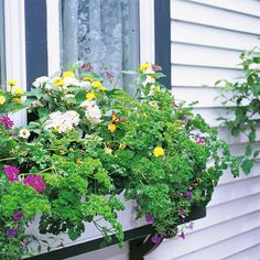 Plant a Window Box for Butterflies. Lure butterflies to your deck or patio if garden space is scarce. Flowering delicacies, including lantana, verbena, pentas, sanvitalia, globe amaranth, zinnia, marigold, calibrachoa, and gaura, keep winged diners coming back for nectar all season to this sunny windowsill. Many butterfly species will lay their eggs on the curly parsley leaves, which provide an excellent source of food for the larvae or caterpillars.