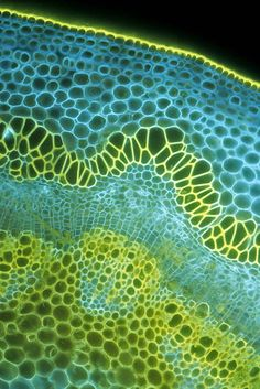 Cross section of the stem of a soybean seedling.dicot stem cross-section Patterns In Nature, Textures Patterns, Motifs Organiques, Photo Macro, Microscopic Photography, Microscopic Images, Plant Cell, Plant Stem, Cross Section