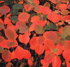 Voici trois listes d'arbustes aux attraits automnaux indéniables. Arbustes à feuilles colorées Amélanchiers (Amelanchier spp.) zone 2 ou 3, selon l'espèce Aronies (Aronia spp.) zone 3 à 5, se…