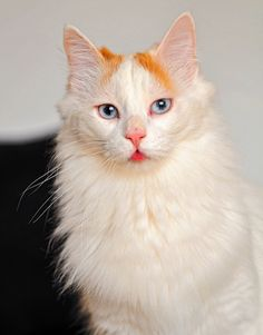 Turkish Van showing her tongue. Those eyes! Such a pretty kitty.