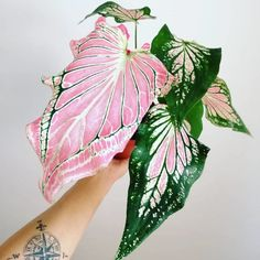 thesill: Pink variegated caladiums are giving us some watermelon vibes. - thesill: Pink variegated caladiums are giving us some watermelon vibes. Garden Plants, Indoor Plants, Trees To Plant, Plant Leaves, Pink Plant, Foliage Plants, Cactus Y Suculentas, Plant Decor, Cactus Decor