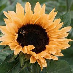 Sunflower Pro Cut Orange F1 | Sunflower seeds, Sunflowers and Daisy