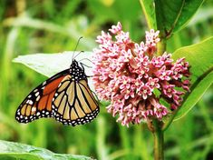 Planting milkweed this year? If your goal is to provide habitat for monarch butterflies, you'll want to choose milkweed varieties that are native to your region – and suitable for…