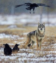 Wolf and Raven by Niko Pekonen Raven And Wolf, She Wolf, Beautiful Creatures, Animals Beautiful, Cute Animals, Canis Lupus, Wolf Life, Howl At The Moon, Wolf Pictures