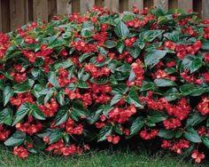 begonia plants - Google Search