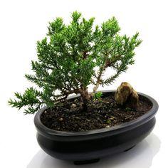 Juniper Tree, Juniper Bonsai, Flowering House Plants, Bonsai Trees For Sale, Annual Flowers, Bonsai Garden, Outdoor Plants, Outdoor Spaces, Small Trees
