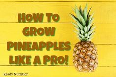 I had no idea that growing pineapples was so easy! Here's what you need to know to grow pineapples like a pro.
