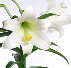 easter Lily | easter lilies the easter lilies are the most popular easter flower ...