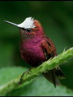 Snowcap Hummingbirds or White-crowned  Hummingbirds (Microchera albocoronata)