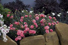Blooms May-June. Flower Beds, My Flower, Mixed Border, Border Plants, Garden Borders, Small Gardens, Shade Garden, Cut Flowers, Rose Buds