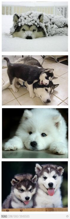 AWWWW........ IVE ALWAYS WANTED A HUSKEY!! THEY SOOOOO ADORABLE AND PROTECTIVE!!