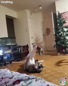 play with new toys Funny Dog Videos, Funny Animal Memes, Dog Memes, Funny Animal Pictures, Cute Funny Dogs, Cute Funny Animals, Funny Cats, Funny Husky, Cute Animal Videos