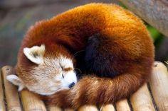 36 Red Pandas Taking Advantage Of Longer Nights. Cute!