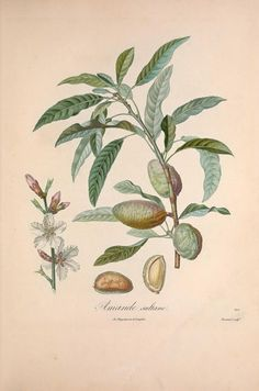 (1846) vol 1 - Pomologie française; illustrations by Poiteau : - Biodiversity Heritage Library Almonds