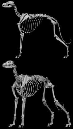 anatomy greyhound - Αναζήτηση Google