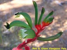 Image result for kangaroo paw