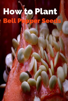Planting your own bell pepper seeds or bell pepper plants, which can then be used for their seedlings, can save you tens of dollars on grocery costs as well as ensure that your bell peppers are free of pesticides and fertilizers.