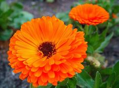 Calendula - An ingredient in the Clear Skin Gel. Stimulates the production of collagen at wound sites; anti-inflammatory and antimicrobial properties. Annual Flowers, Rare Flowers, Edible Flowers, Beautiful Flowers, October Birth Flowers, Lantana Camara, Skin Gel, Bizarre, Different Flowers