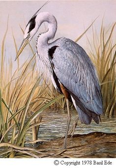 Basil Ede's Great Blue Heron. Watercolor, I think . . . based on the date, since he switched from watercolor to oils in approx. 1989.