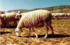 El blog dLana* | Nuestras razas: la oveja Alcarreña http://www.dlana.es/blog/blog/2014/09/18/nuestras-razas-oveja-alcarrena/